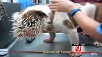 Dog's Face Covered With 500 Porcupine Quills