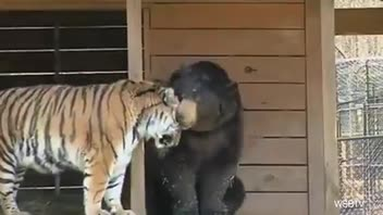 Lion, Tiger and Bear Live and Play Peacefully in Same Enclosure