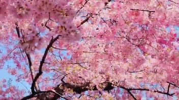 Cherry Blossom in Washington, DC - Great Attractions (United States)