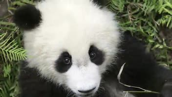 Pandas of Chengdu - Great Attractions (Chengdu, China)