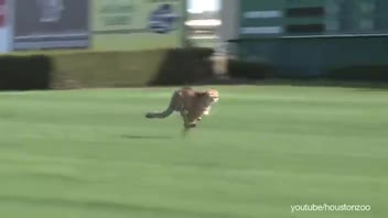 Zoo Cheetahs Getting Trained at Local Horse Racetrack