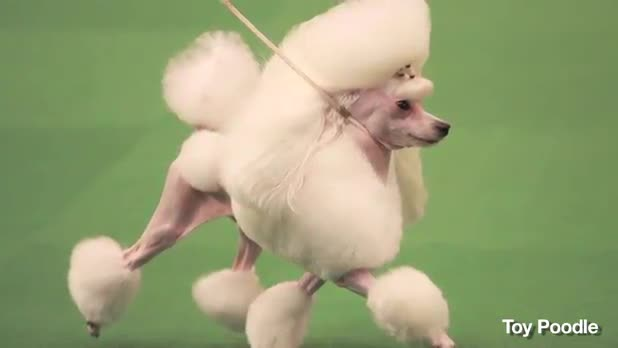 5 Most Unusual Dogs from Westminster Dog Shows