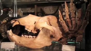 Unusual Gift for Dad - Fossil Cave Bear Skull
